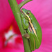 Green treefrog roosting in the hibiscus  (wild)