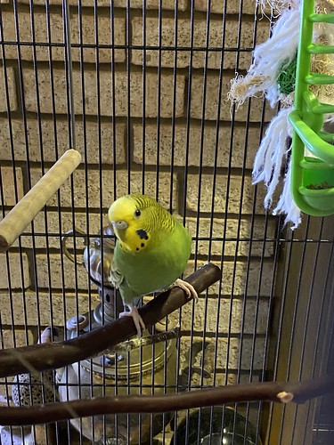 Fiji the Parakeet
