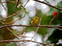 A Little Bird In A Big World (ACEZandEIGHTZ) Tags: bird feathers nikond3200 prairiewarbler setophagadiscolor branches tree wings winged avian closeup bokeh