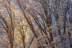 Black Oak Tapestry (Charlotte Hamilton Gibb) Tags: yosemitevalley autumn oaktrees blackoaks nationalpark trees grove branches light blue goldenlight