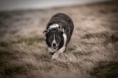 Pale Rider (JJFET) Tags: border collie dog sheepdog herding paddy