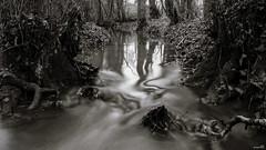 Le ruisseau tortueux (Un jour en France) Tags: canoneos6dmarkii canonef1635mmf28liiusm sepia monochrome noiretblanc noiretblancfrance ruisseau forêt arbre