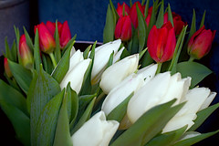 Red & White tulips (Fnikos) Tags: flower flor fiore tulip tulipan leaf leaves nature naturaleza natura natur color colour colores colours colors green verde red rojo white blanco dark light shadow shadows dof depth depthoffield olympus outside outdoor