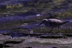 Sanderling (davidhewett1964) Tags: corpuschristibirds shorebirds sanderling packerychannel wadingbirds texasbirds corpuschristi tx us