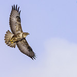 Buzzard hunting for food