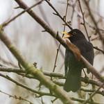 Blackbird in a tree