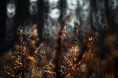 ... (Fotagi) Tags: bokeh m42 500mm nature natura badylki flora przyroda jesień autumn mood mc3m5ca