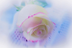 When I Dream (Marie Brown Cottage Garden) Tags: rose lace lensbaby sweet50