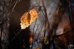 ... (Fotagi) Tags: autumn nature leaves flora bokeh natura m42 500mm jesień liście mc 3m5ca