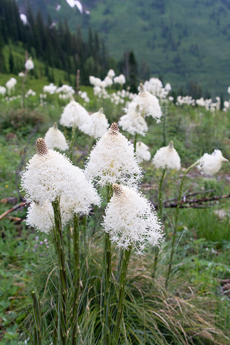 Beargrass Detail