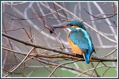 Martin-Pêcheur 191227-03-RP (paul.vetter) Tags: nature faune oiseau vogel bird martinpêcheur alcedoatthis commonkingfisher martínpescadorcomún guardarios eisvogel alcédinidé