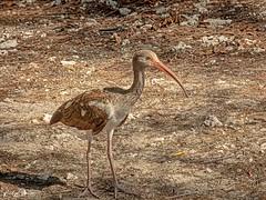 🇺🇸 Juvenile white ibis KW 0008 (vickyoutenphoto) Tags: vickyouten whiteibis juvenile wildlife nature nikon nikond7200 nikkor55300mm keywest florida usa