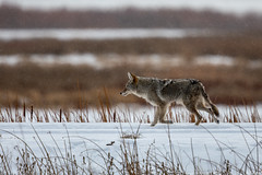 Coyote (Gf220warbler) Tags: idaho coyote canis