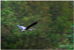 OCTOBER 2019 _1004_NGM_4004-1-222 (Nick and Karen Munroe) Tags: heron blueheron greatblueheron river water waterway karenick23 karenick karenandnickmunroe karenandnick munroe karenmunroe karen nickandkaren nickandkarenmunroe nick nickmunroe munroenick munroedesigns photography munroephotoghrpahy munroedesignsphotography nature landscape brampton bramptonontario ontario ontariocanada outdoors canada d750 nikond750 nikon nikon2470f28 2470 2470f28 nikon2470 nikonf28 f28 colour colours color colors