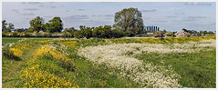 Summer Memories P1000840 (Davey's Shots) Tags: waterbeach fens cambridgeshire wildflowers cowparsley buttercups rivercam landscape