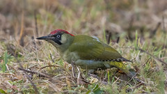 Green Woodpecker ( Picus viridis ) Female (Dale Ayres) Tags: green woodpecker picus viridis female bird nature wildlife