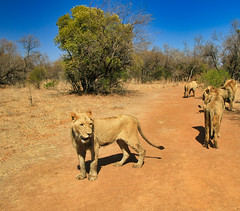 Walking with the Lions in South Africa (` Toshio ') Tags: toshio africa southafrica lion ukutula lions animal cat bigcat nature wildlife canon7d canon 7d tree bush mammal