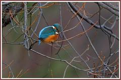 Martin-Pêcheur 191227-09-P (paul.vetter) Tags: nature faune oiseau vogel bird martinpêcheur alcedoatthis commonkingfisher martínpescadorcomún guardarios eisvogel alcédinidé