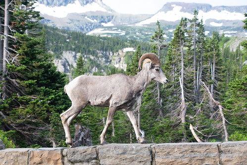 Bighorn Sheep on Roadside Wall
