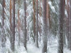 Winter wind (Joakim Billebo) Tags: intentionalcameramovement torsby landscape winter icm sweden xf90mm fir fujifilm snow trees tree xt2 photography xf90 pinetree snowy longexposure pine impressionism