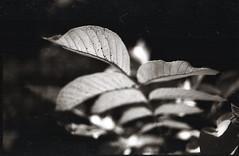(Vakkor's Photostream) Tags: analog analogfilm bwfilm selfdeveloped expired expiredfilm 35mmfilm polypanf iso100 hc110 nikonfe2 fe2 autumn ukraine urban nikkoro352 epsonv500photo