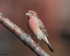 House Finch (male) -Explored- DSC_1098 (blindhogmike) Tags: nature natur wildlife faune tierwelt bird oiseau vogel