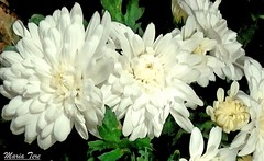 Crisantemos... (MariaTere-7) Tags: flores crisantemosblancos sanmiguel lima perú maríatere7