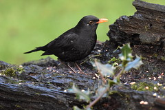 Blackbird (Deanne Wildsmith) Tags: blackbird bird wolseleynaturecentre staffordshire earthnaturelife