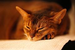 Happy New Year 2020 Everyone! (DizzieMizzieLizzie) Tags: sleeping portrait classic cat pose golden feline gm chat dof sweet bokeh sony gatos lizzie dreaming gato meow neko katze fe abyssinian gatto kot katt aby ilce pisica dizziemizzielizzie a7riv fe135mmf18gm sonyilce7rm4 new happy year expressive