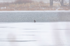 December 28, 2019 - A juvenile bald eagle alone on the ice. (Tony's Takes)