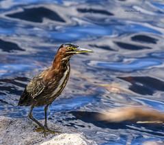 Green heron (Mike_FL) Tags: greenheron bird nikon nikond7500 nature florida floridawildlife floridabirdingtrail evergladesnationalpark eyecontact mikesphotography tamron100400 photograph image