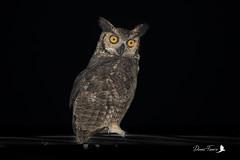 Grand-duc d'Amérique - Bubo virginianus - Great Horned Owl (denisfaure973) Tags: grandduc d'amérique bubo virginianus great horned owl guyane french guiana rapace oiseau hiboux