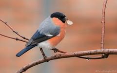 Casse-croûte sous la pluie. (DorianHunt) Tags: birds bokeh bullfinch servion backyard switzerland december 2019 nikond500 sigma 150600mm
