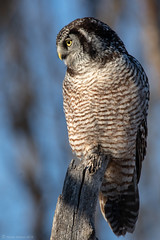 Northern Hawk Owl (NicoleW0000) Tags: owl boreal raptor birdofprey bird nature wildlife portrait birdwatching rare rarity northernhawkowl