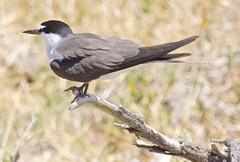 Sooty Tern (Padmacara) Tags: australia penguinisland bird d7100 tamron 28300mm