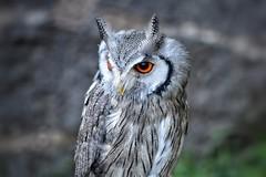 Owl! (Nina_Ali) Tags: newtownlinford owl bird leicester nature feathers depthoffield skopsowl ninaali