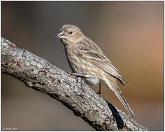 House Finch (female) -Explored- DSC_1086 (blindhogmike) Tags: nature natur wildlife faune tierwelt bird oiseau vogel columbia lexington sc south carolina