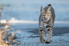 Bobcat (Thy Photography) Tags: wildlife animal nature outdoor backyard california bird sunrise sunset dawn dusk sunshine thyphotography bobcat livemore cat sonya9ii sanfranciscobayarea fullframe fe600mmf4gmoss sycamorevalleyregionalopenspacepreserve pointreyesnationalseashore edlevin haywardregionalshoreline delvalleregionalpark sycamoregrovepark coyote lake coyotelake lynxrufus livermore