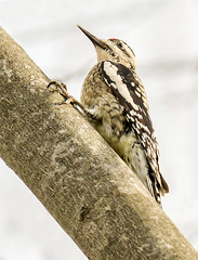 Yellow-bellied Sapsucker (Cappy0161) Tags: yellowbellied sapsucker