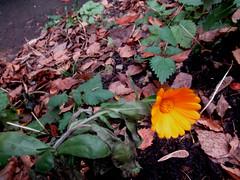 Календула (lvv1937) Tags: sunsetslandscapesandflowers coloursofflickr amateurs flickrenespañol inexplore photosforthecreationofbeautyaroundtheworld