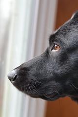 Anglų lietuvių žodynas. Žodis labrador retriever reiškia labradoro retriveris lietuviškai.