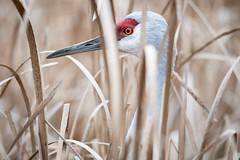 Camouflage (TW Olympia) Tags: sandhill crane george reifel migratory bird sanctuary delta british columbia canada