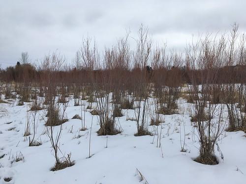 Salix exigua - narrowleaf or sandbar willow