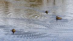 122619 Intersecting Ripples (wildcatlou) Tags: winter december nature wildlife birds water pond nisquallynationalwildliferefuge ducks gadwall 52frames challenge breakingtherules
