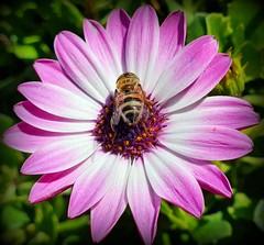 Even in winter (Ioannis Ks) Tags: bee flower osterospermum garden nature insect winter crete