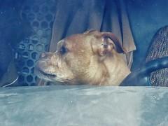 Sideways Too-Mugshot (Robert Cowlishaw (Mertonian)) Tags: outsidelookingin truck windshield doggie doggy sx70hs powershot canon canonpowershotsx70hs robertcowlishaw mertonian sidewaystoo mugshot