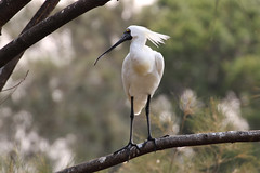Royal Spoonbill at Forest Grove (RossCunningham183) Tags: royalspoonbill spoonbill sanctuary wollongong nsw australia feathers