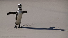 Shadow Dancing (pdxsafariguy) Tags: nature africa penguin wildlife beach bird sea animal ocean sand wild endangered seabird marine capetown flightless southafrica shadow bouldersbeach africanpenguin jackasspenguin spheniscusdemersus tomschwabel