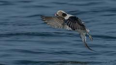 Long-tailed Duck  4254 (Paul McGoveran) Tags: bif bird birdinflight burlington burlingtonliftbridge duck lakeontario longtailedduck nature nikon500mmf4 nikond850 ontario wings