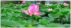 Lotuses (<Vladimir>) Tags: лотос lotus lake оз озеро